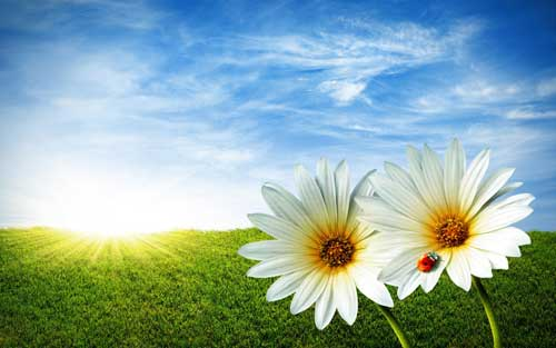 white_flowers_wallpaper_wid